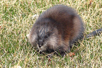 Muskrats Animal Control and Animal Removal in Piermont, New York