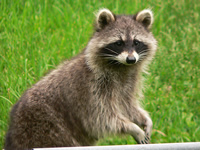 Raccoons Animal Control and Wildlife Removal in Monroe, New York
