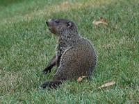 Woodchucks Animal Control and Animal Removal in Monroe, New York